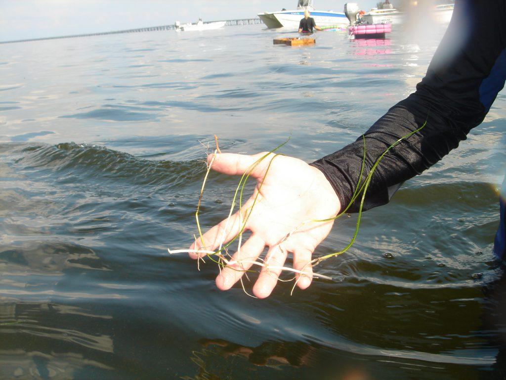 image: seagrass sprig closeup