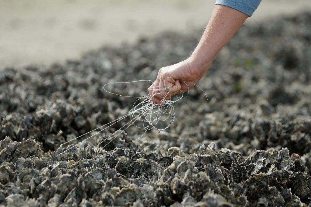 image: hand pulling mono from oyster bed
