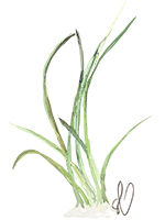 illustration: manatee grass