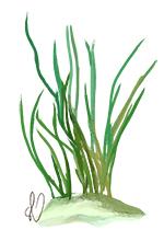 illustration: shoal grass
