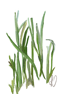 illustration: turtle grass
